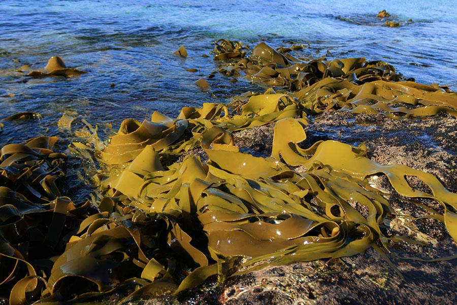 AUSTRALIAN SEA KELP